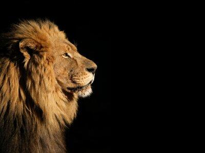 Plakat Portret duży samiec lwa afrykańskiego na czarno