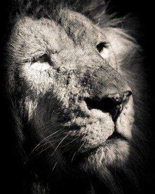 Plakat Portret lwa - czarno-białe zdjęcia