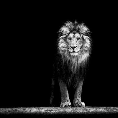 Plakat Portret pięknej lwa, lwa w ciemności