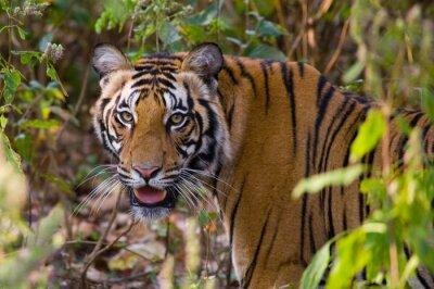 Plakat Portret z tygrysa w środowisku naturalnym. Indie. Bandhavgarh National Park. Madhya Pradesh. Doskonałą ilustracją.