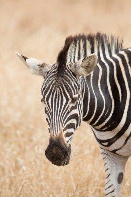 Plakat Portret Zebra, Kruger Park, Republika Południowej Afryki