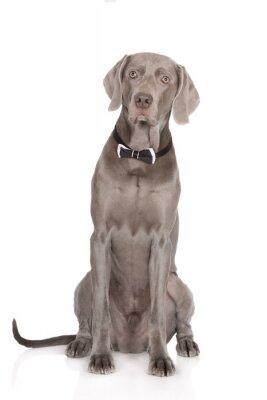 Plakat poważny portret weimarski pies muszką