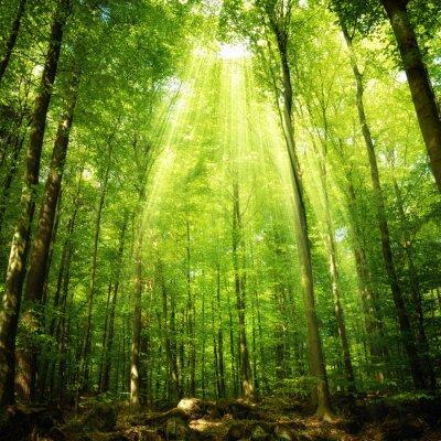 Plakat Promienie słońca w lesie bukowym