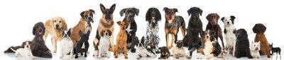 Plakat Psy rodowodowe