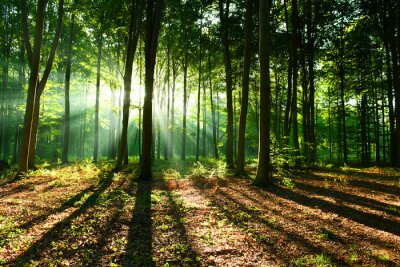 Plakat Rano w lesie