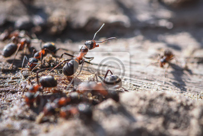 Plakat red ant closeup sand