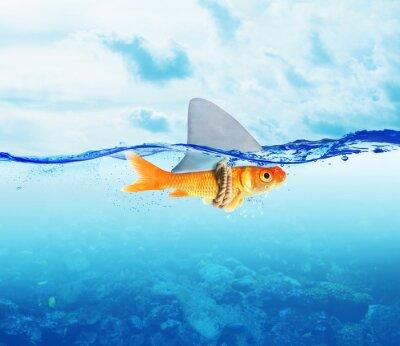 Plakat Red Fish jako rekina