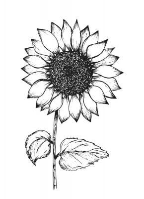 Plakat Retro black outline ink pen sketch of sunflower. Hand drawn illustration of beautiful sun flower isolated on white background for botanical pattern design, greeting card decoration