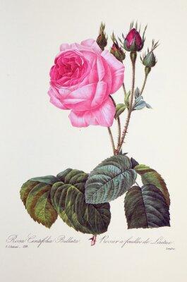 Plakat Rosa centifolia bullata / Rose à feuilles de laitue