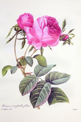 Plakat Rosa centifolia / Rose Centfeuilles foliacé