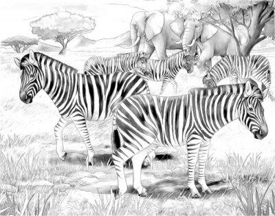 Plakat Safari - zebry - strona kolorystyka