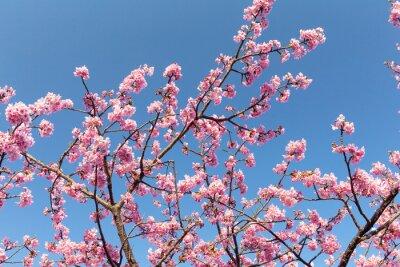 Plakat Sakura