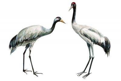 Plakat set of beautiful birds crane on isolated white background, watercolor illustration
