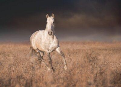 Plakat Siwy koń prowadzony