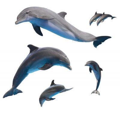 Plakat Skoki delfinów na białym