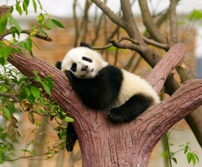 Plakat Sleeping Giant dziecko panda