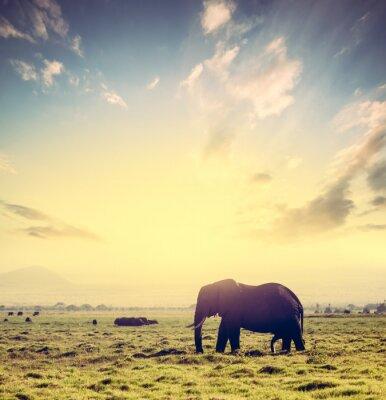 Plakat Słoń na afrykańskiej sawanny o zachodzie słońca. Safari w Amboseli, Kenia, Afryka