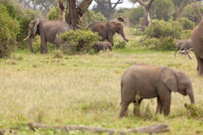 Plakat Słoń Rodzina w Kenii