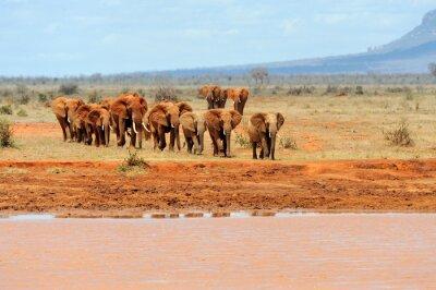 Plakat Słoń w parku narodowego Kenii