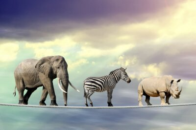 Plakat Słoń, zebra, nosorożec chodzenia na linie