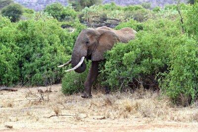 Plakat słoni afrykańskich w sawanny