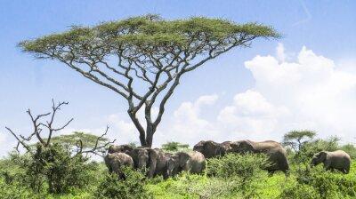 Plakat słoniątka dogania swojego stada słoni stojących pod akacji na krajobraz Serengeti Savannah