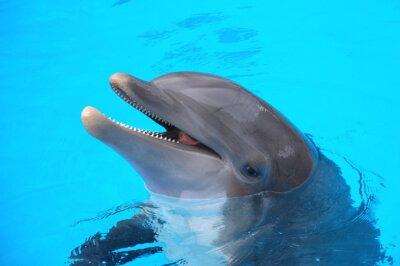 Plakat Śmiejący SIĘ delfin w Loro Park NA Teneryfie