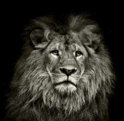 Plakat smutny lew