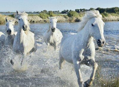 Plakat Stado białych koni Uruchamianie i zalewaniem przez wody