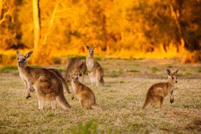 Plakat Stado kangurów w półmroku