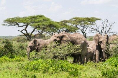 Plakat Stado słoni stojących wśród drzew akacji na krajobraz Serengeti Savannah