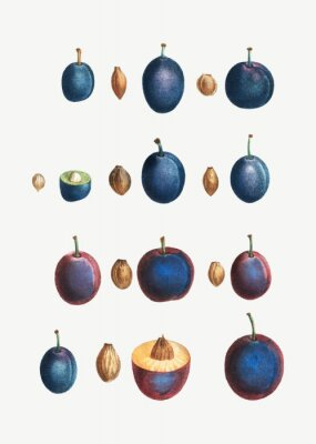 Plakat Stages of a plum