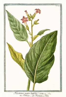 Plakat Stary botaniczny ilustracja Nicotiana major (Nicotiana tabacum). G. Bonelli na temat Hortusa Romanusa, publ. N. Martelli, Rzym, 1772 - 93