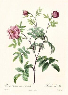 Plakat Stary ilustracja Rosa cimmamomea majalis. Utworzone przez PR Redoute, opublikowane w Les Roses, Imp. Firmin Didot, Paryż, 1817-24