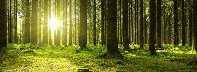 Plakat Sunlight w zielonym lesie.