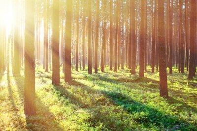 Plakat Sunrise w lesie sosnowym