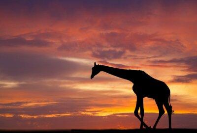 Plakat Sylwetka żyrafy na tle pięknego zachodu słońca