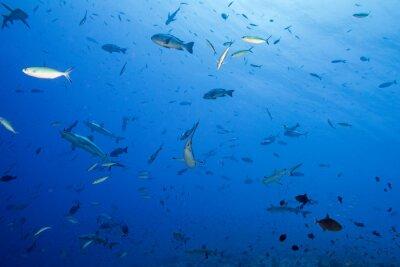 Plakat Szary rekina gotowy do ataku podwodne