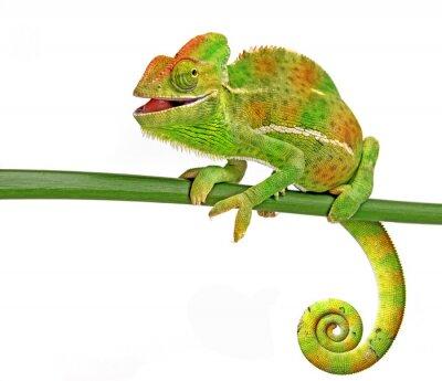 Plakat szczęśliwy kameleon