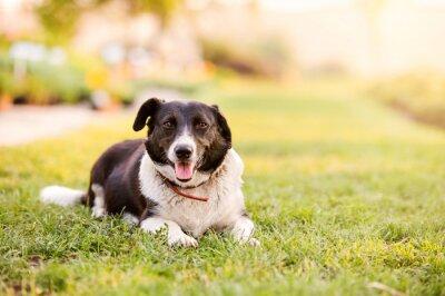 Plakat Szczęśliwy pies leżący na zielonej trawie z biegnących łap