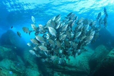 Plakat Szkoła ryby na podwodne rafy koralowej w morzu oceanu