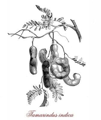 Plakat Tamarindus indica