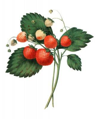 Plakat The Boston Pine Strawberry (1852) by Charles Hovey, a vintage illustration of fresh strawberries. Digitally enhancedby rawpixel.