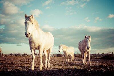 Plakat trois chevaux blancs Camarguais rocznika