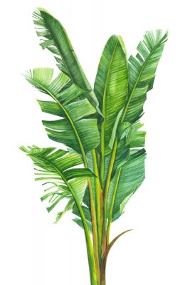 Plakat tropical plants, banana palm on an isolated white background, watercolor illustration, hand drawing, botanical painting