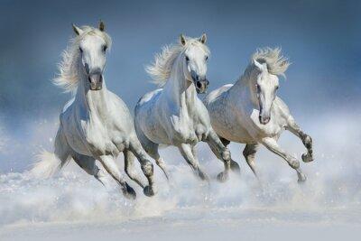 Plakat Trzy biały koń prowadzony galop w śniegu