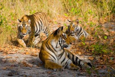 Plakat Trzy dziki tygrys w dżungli. Indie. Bandhavgarh National Park. Madhya Pradesh. Doskonałą ilustracją.