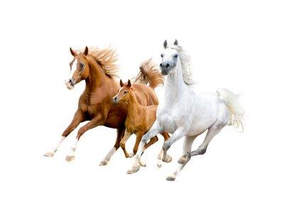 Plakat Trzy koni arabskich odizolowane na białym