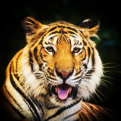 Plakat Tygrys Portret Tygrys bengalski.