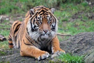 Plakat Tygrys sumatrzański